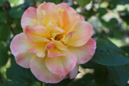 Close up of beautiful organic tinted pink white yellow soft colour scented rose with multiple petals heavily scented growing in an English organic country garden on lush green bush plant in May in the summer sunshine during lockdown