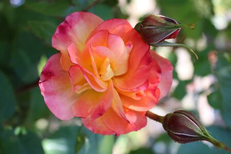 Close up of beautiful organic peach apricot orange colour scented rose with multiple petals heavily scented growing in an English organic country garden on lush green bush plant in May in the summer sunshine during lockdown with newly formed rose buds
