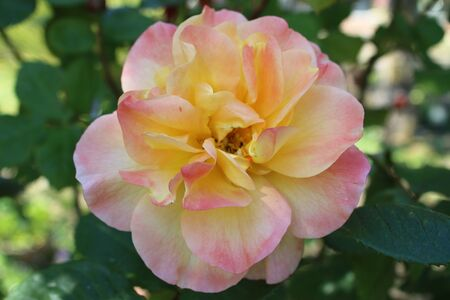 Close up of beautiful organic peach which pink colour scented rose with multiple petals heavily scented growing in an English organic country garden on lush green bush plant in May in the summer sunshine during lockdown Фото со стока