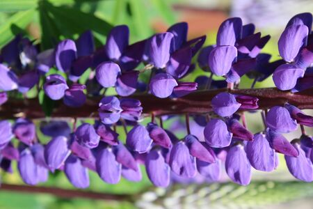 Close up of beautiful organic purple violet lupin stems of flower petals on green leaved plant in full bloom in Summer country allotment garden in sunshine fresh air outdoors in border by grass lawn Фото со стока