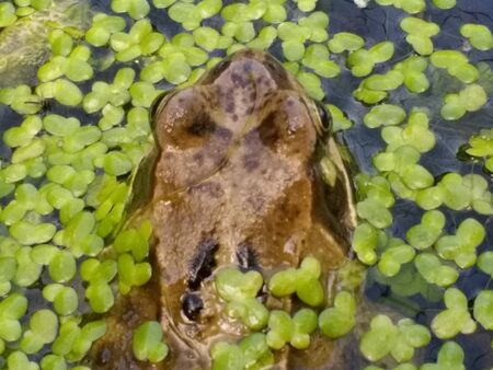 Close up of frogs head amphibians mating swimming water with eyes skin brown in organic garden pond in early Summer late Spring in water with light reflection and green algae type oxygen plant in fresh air day time