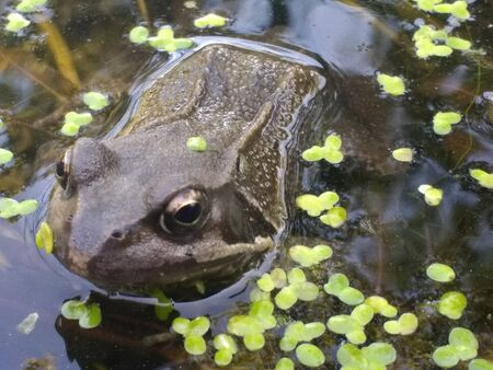 Close up of frogs head amphibians mating swimming water with eyes skin brown in organic garden pond in early Summer late Spring in water with light reflection and green algae type oxygen plant in fresh air day time Summer light garden