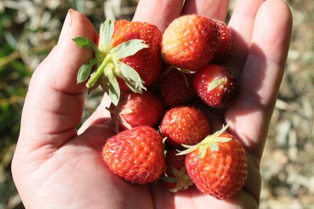 Close up of freshly picked strawberries, held in female handing picking the delicious garden harvested organic red fruits with green stalks iviewed from above outdoors in English allotment fresh air