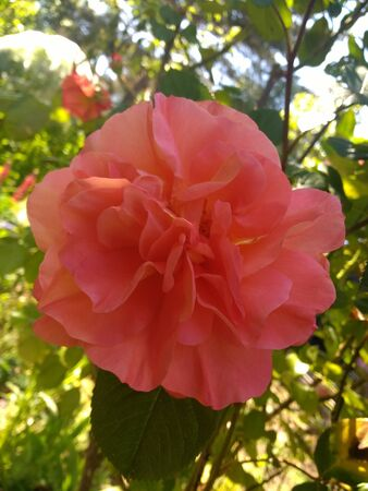 Close up of beautiful organic peach pink apricot orange colour scented rose with multiple petals heavily scented growing in an English organic country garden in May in the summer sunshine during lockdown