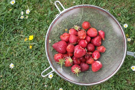 Close up of strawberries freshly picked from organic garden home grown in allotment during lockdown 2020 with ripe red fruit in metal colander on grass lawn with daisies background outdoors in Summer