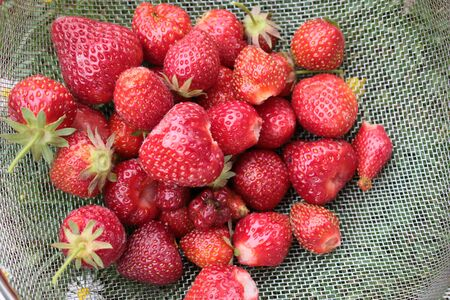 Close up of fresh juicy home grown strawbeeries ripe red and delicious in organic garden in metal colander in Summer Фото со стока