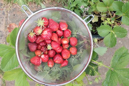 Close up of strawberries freshly picked from organic garden home grown in allotment during lockdown 2020 with ripe red fruit in metal colander strawberry pots on patio background outdoors in Summer