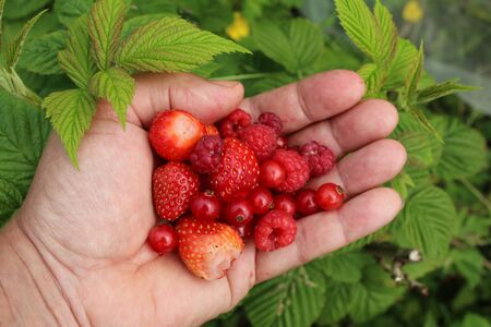 Close up of hand picking strawberries red currants and raspberries freshly picked foraged from organic garden home grown in allotment raised vegetable and fruit beds in lockdown 2020 outdoors Summer