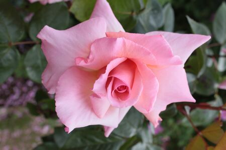 Close up of beautiful single pink rose historic scented romantic with multi petals  on green rich leaves plant in organic English country garden in Summer Фото со стока