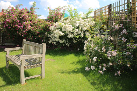 Landscape of park bench vintage wood worn seat empty on grass lawn with stunning beautiful white and pink rose bushes in full bloom in background on Summer day in garden, blue skies and trellis fence Фото со стока