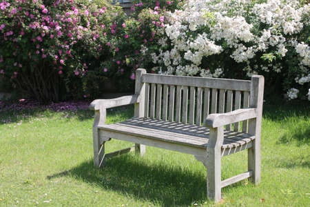 Landscape of park bench vintage wood worn seat empty on grass lawn with stunning beautiful white and pink rose bushes in full bloom in background on Summer day in garden, blue skies white clouds and trellis fence