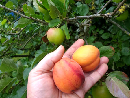 Close up of hand picking apricots, delicious organic juicy ripe orange freshly foraged from orchard English garden trees home grown in lockdown 2020 outdoors Summer harvested for jam making