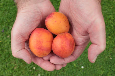 Close up of two hands holding apricots, delicious organic juicy ripe orange freshly picked foraged from orchard English garden trees home grown in lockdown 2020 outdoors Summer harvested for jam