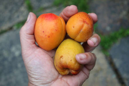 Close up of three delicious tasting apricots in human hands the organic juicy ripe fruit freshly picked from organic country garden fro orchard for healthy eating in England showing fingers and palm