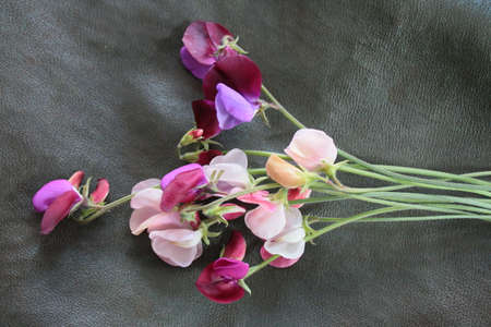 Close up of delicate sweet pea heavily scented perfumed flowers in full bloom picked from organic English garden, the delicate blossom stems against a black background birds eye view