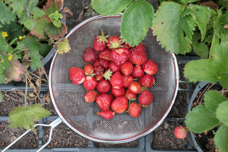 Close up of strawberries foraged in organic garden home grown allotment during Summer lockdown the fresh picked ripe red fruit in metal colander sat on strawberry plant pots in vegetable raised bed