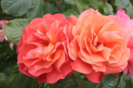 Close up of beautiful rose bush of flowers in full bloom the apricot peach pink colour roses home grown in an English country garden in Summer with lush green healthy bush green leaves
