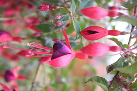 Close up of fuchsia bush the bright beautiful purple and pink flowers with long stamen like bells and delicate petals on vibrant healthy organic English garden bush in late Summer