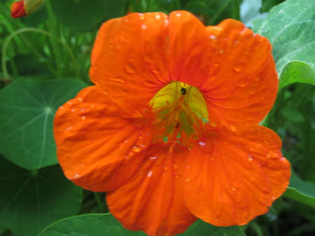 Close up of delicious and beautiful edible nasturtium flower foraged from organic allotment garden in bright orange with yellow centre rain drops on petals and green plant leaves in background