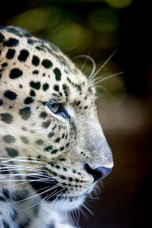 catlike: Panthera pardus orientalis Stock Photo