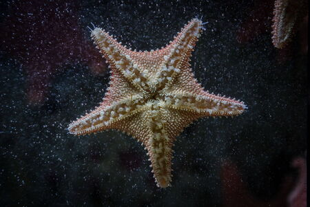 marinelife: starfish