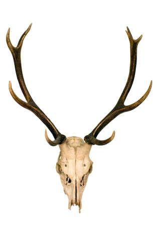 Se trata de cuernos de ciervo muy bien cuidado  Foto de archivo - 2563657