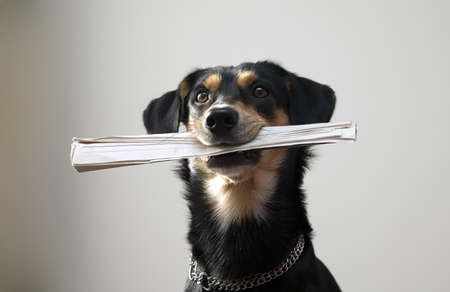 Nice black dog with metal chain is holding newspaper, grey background Stock Photo