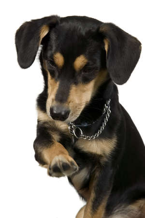 Elegant dog is sitting and giving right paw Stock Photo - 8548995