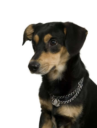 Elegant black dog with chain is sitting and watching photo