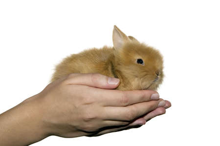 Woman is holding little domestic rabbit in her hands photo