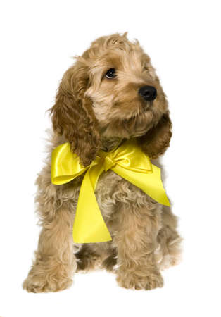 Dog with yellow ribbon is sitting and watching, white background photo