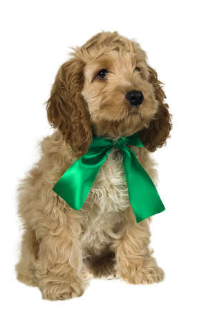 Dog with green ribbon is sitting and watching, white background Stock Photo - 11937126