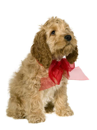Dog with red ribbon is sitting and watching, white background photo