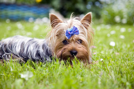 Beautiful yorkshire terrier dog with blue ribbon Stock Photo
