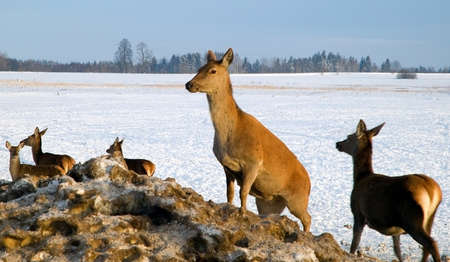 A deer herd in fields in winter photo