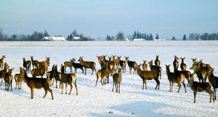 herd deer: A deer herd in fields in winter Stock Photo