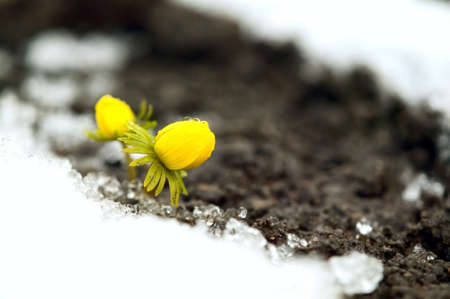 Yellow flower on soil, snow around, spring concept photo