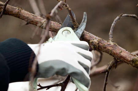 pruning: Man with gloves is cutting branches from tree, trimming