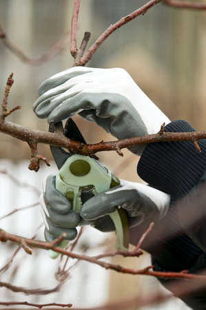 tree trimming: Man with gloves is cutting branches from tree, trimming