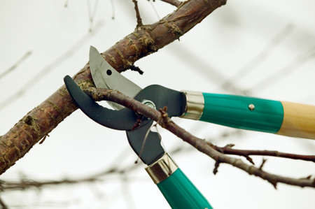 tree trimming: Scissors is cutting branches from tree, trimming Stock Photo