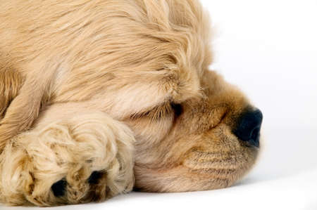 animal nose: Sleeping puppy dog on a white background Stock Photo