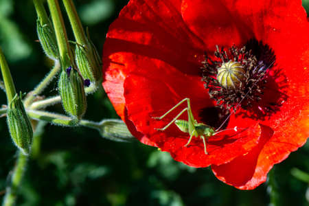 poppies and crickets in green nature