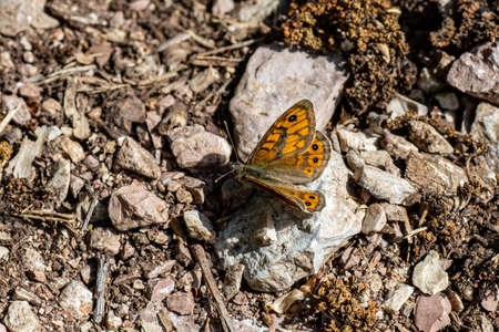 shrew butterfly sitting on stony soil