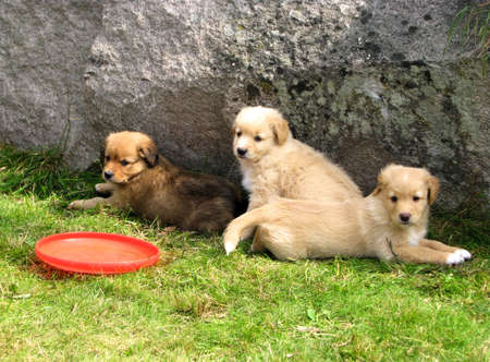 Puppies of golden retriever photo