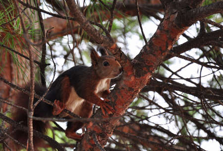 Squirrel sitting on a pine tree. photo