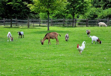 Verschiedene Nutztiere Gras auf einer Wiese zu essen.