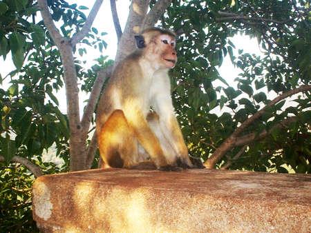 sigiriya: Monkeys from the fortress of Sigiriya , Sri Lanka.