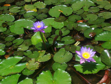 Water lilies in a pond Sri Lanka. photo