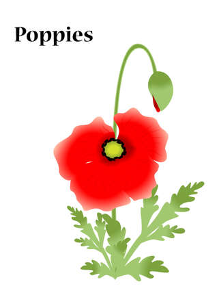 poppies:  bright illustration with flowers - red poppies.