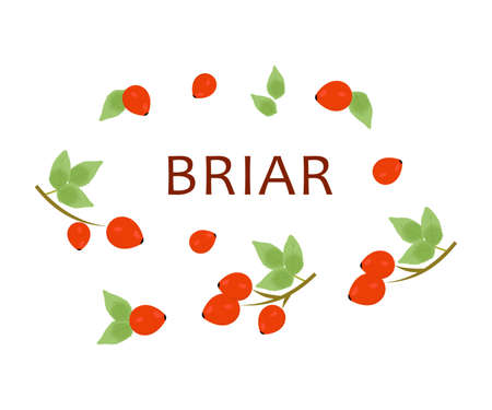 still life food: the illustration - dedicated to useful plant - red briar.